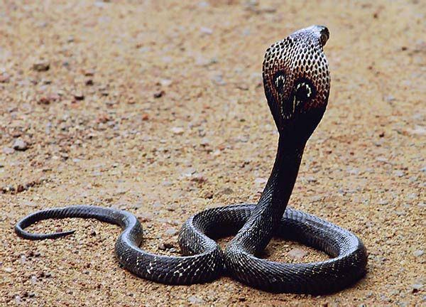 Deadly King Cobra